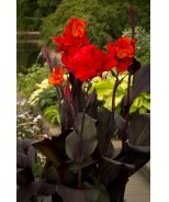 Tropical Bronze Scarlet Canna