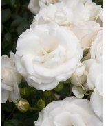 Glacier Magic® Shrub Rose