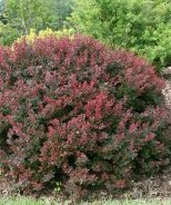 Sunjoy® Mini Salsa Barberry