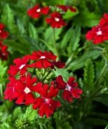 Homestead Red Verbena