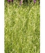 Scottish Tufted Hair Grass