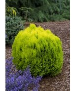 Morgan's Chinese Arborvitae