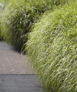 Little Zebra Dwarf Japanese Silver Grass