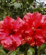 Flamenco Flame™ Hibiscus