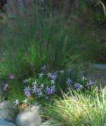 Deja Blue Star Flower