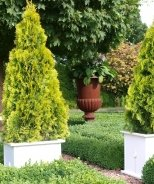 Highlights™ Arborvitae