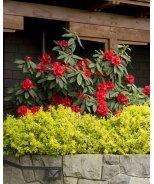 Taurus Rhododendron