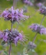 Point Sal Purple Sage