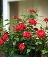 Sunrosa™ Red Shrub Rose