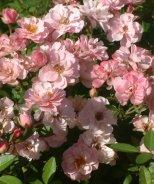 Sunrosa™ Soft Pink Shrub Rose