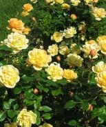 Sunrosa™ Yellow Shrub Rose