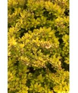 Sunsation® Japanese Barberry