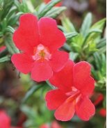 Curious™ Red Monkey Flower
