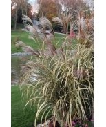 Dwarf Variegated Maiden Grass