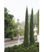 Tiny Tower® Italian Cypress
