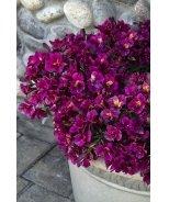 Colorita® Louise® Peruvian Lily