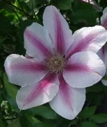 Maria Therese Clematis