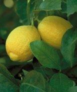 Dwarf Lisbon Lemon