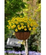 Voltage™ Yellow African Daisy