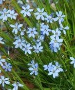 Blue Note Blue-Eyed Grass