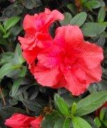 Bloom 'N Again® Fireglow Azalea
