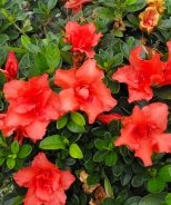 Bloom 'N Again® Orange Frost Azalea