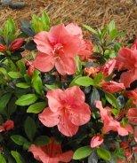 Bloom 'N Again® Peachy Keen Azalea