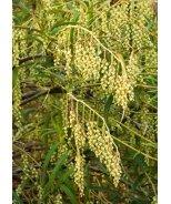 Sparkler® Willow-Leaf Stachyurus