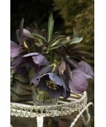 Windcliff Slaty Blue Lenten Rose