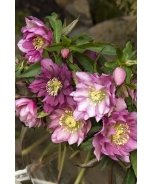 Windcliff Double Pink Lenten Rose
