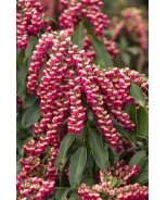 Enchanted Forest® Gay Goblin™ Pieris