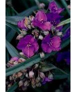 Concord Grape Spiderwort
