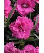 EverLast™ Orchid Maiden Pink