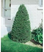 Dark Green Pyramidal Yew