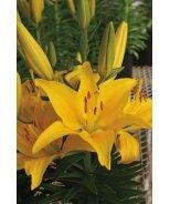 Lily Looks™ Tiny Glow Asiatic Lily