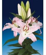 Lily Looks™ Sunny Bonaire Oriental Lily