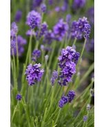 Thumbelina Leigh English Lavender