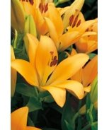 Mount Grace LA Hybrid Lily