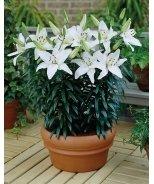 Music White LA Hybrid Lily