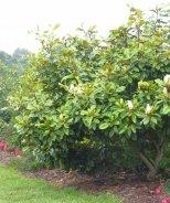 Baby Grand® Magnolia