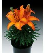 Lily Looks™ Tiny Skyline Asiatic Lily