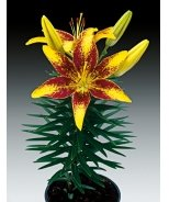 Lily Looks™ Tiny Yellow Sensation Asiatic Lily