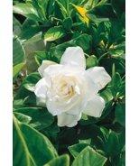 Crown Jewel Gardenia