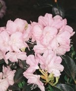 Pioneer Silvery Pink Rhododendron
