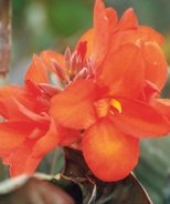 South Pacific Canna Lily