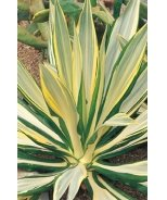 Variegated False Agave