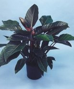 Rojo Congo Philodendron