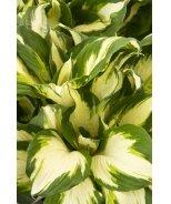 Enterprise Plantain Lily