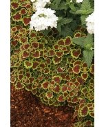 Burgundy Wedding Train Coleus