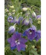 Guardian Blue Delphinium